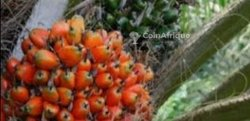 Vente plantation palmier à huile 108 ha - Sassandra