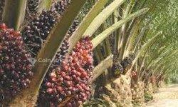 Vente Plantation de palmier 104 ha- Bonoua