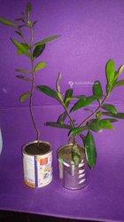 Plant de laurier