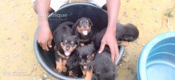 Chiots Rottweiler - Berger Allemand - Caniches