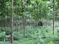 Plantation Bois de tecks 299200 pieds - Daoukro
