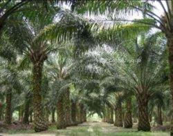 Vente plantation de palmier - hévéa
