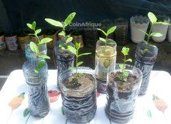 Plants de goyave