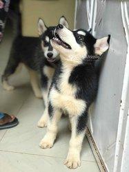 Couple chiots husky sibérien pure race
