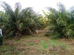 Vente palmeraie   - Houègbo/toffo