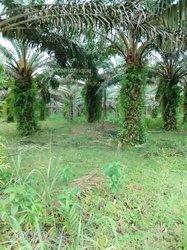 Vente Plantation palmiers 140 hectares - Soubré