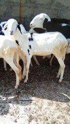 Moutons Ladoum