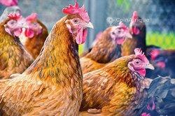 Cours d'élevage de poulets