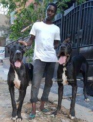 Chiot dog allemand
