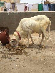 Mouton pur