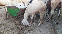 Moutons Azawat - Bène Mélo