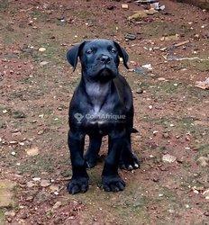 Chiot cane Corso