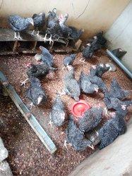 Poules et coqs de race bio