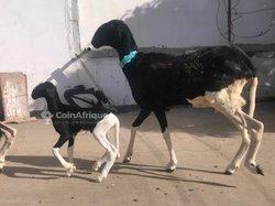 Mouton femelle - petite