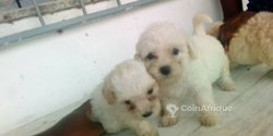 Chiots caniches
