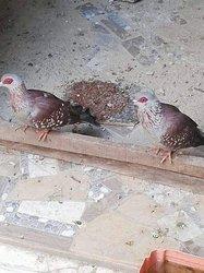 Pigeons sauvages