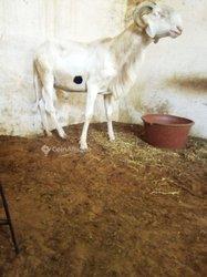Mouton mâle fils - pur sang
