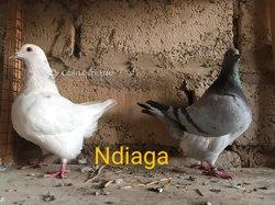 Pigeons texans