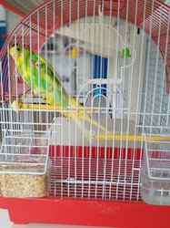 Oiseaux Perruches