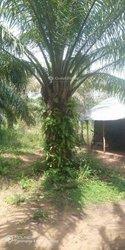 Verger 4 hectares - Sakété