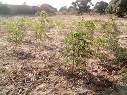 Verger de manguier 3 hectares - Keur Ndioba