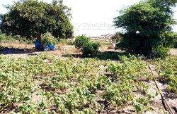Verger 2 hectares - Mboro