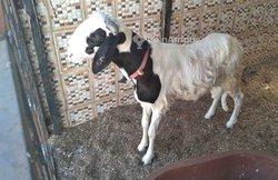 Mouton mâle métissé Ladoum-Azawat
