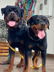 Chiots Rottweilers