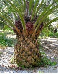 Terrain 850 ha de palmiers à huile - Tabou