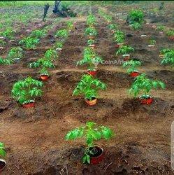 Terrain agricole - Sapouy