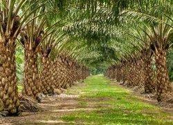 Vente plantation de palmiers 345 ha - Anyama