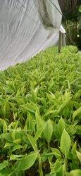Plantules de bananiers plantain