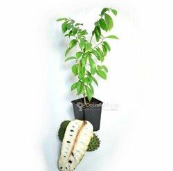 Plantes corossolier