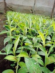 Bananiers plantain