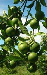 Plantes d'oranger greffé