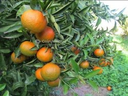 Plante de mandarinier greffé