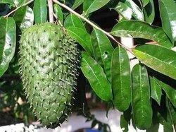 Plants de cocotiers nains  - corossoliers