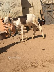 Mouton mâle Ladoum