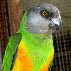 Perroquet du Sénégal