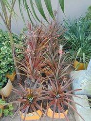 Plante d'ananas de jardin