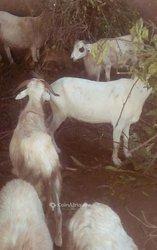 Mouton - chèvre