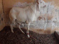 Mouton Azawat