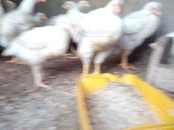 Dindes et poulets de chair