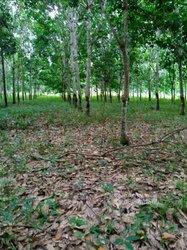 Vente Plantation de Hévéa 248ha - Grand Lahou