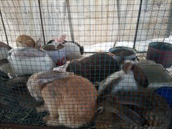 Lapins hybrides