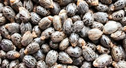 Graine de ricin - castor seed bio