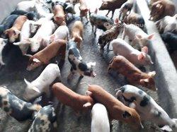 Porc de race