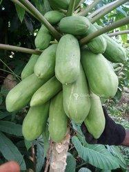 Semences de papayes nain red royal