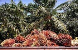 Vente plantation de palmiers à huile   98 ha - Adiaké