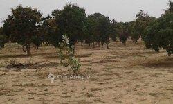 Vente Verger 11 hectares - Mboro